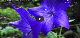 軽井沢の草花 2013.07.15 – 07.31