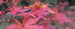 11月7日軽井沢。末候。楓蔦黄。