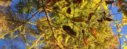 11月5日軽井沢。末候。楓蔦黄。