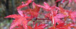11月8日軽井沢。立冬。初候。山茶始開。