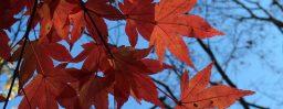 11月3日軽井沢。末候。楓蔦黄。
