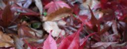 11月11日軽井沢。初候。山茶始開。