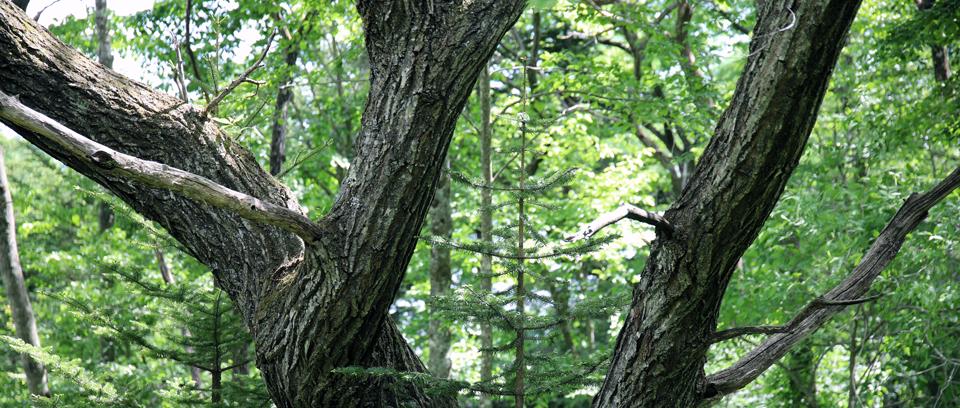 千ヶ滝に生育している松の木々
