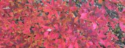 11月2日軽井沢。霜降。末候。楓蔦黄。
