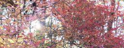 11月3日軽井沢。霜降。末候。楓蔦黄。