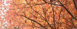 11月4日軽井沢。霜降。末候。楓蔦黄。