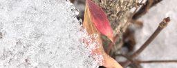 1月24日軽井沢。大寒。初候。款冬華。