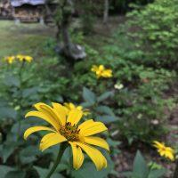 7月16日軽井沢。小暑。蓮始開。